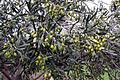 Olives, Lighthouse Olive Grove, Drysdale Victoria Australia (4650430861).jpg