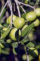 Olives (GROSSANE) CL2. J Weber (3) (23184192971).jpg