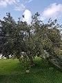 Olivier aux olives mûres pour la récolte.jpg
