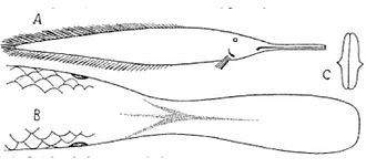 "Ompax spatuloides - Contemporary drawing of the hoax ""fish"" Ompax spatuloides by Karl Theodor Staiger, director of the Brisbane Museum, Australia, drawn from the cooked fish, and sent to Francis de Laporte de Castelnau in 1879, who went on to give the ""species"" a scientific description."