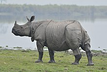 One horn Rhino in Kaziranga national park.jpg
