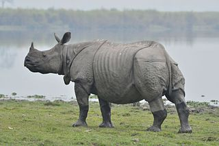 Indian rhinoceros The largest living species of rhinoceros in Asia