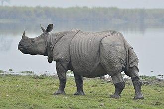 Indian rhinoceros - An Indian rhinoceros in Kaziranga National Park, Assam, India