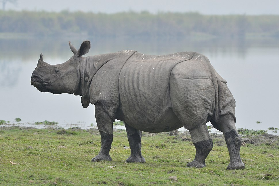 One horn Rhino in Kaziranga national park