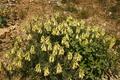 Onosma-canescens-plant.png