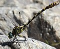 Onychogomphus forcipatus unguiculatus (Gomphidae) (Small Pincertail (ssp. unguiculatus)) - (male), Provence-Alpes-Côte d'Azur, France.jpg