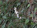 Ophiopogon intermedius (2561675282).jpg
