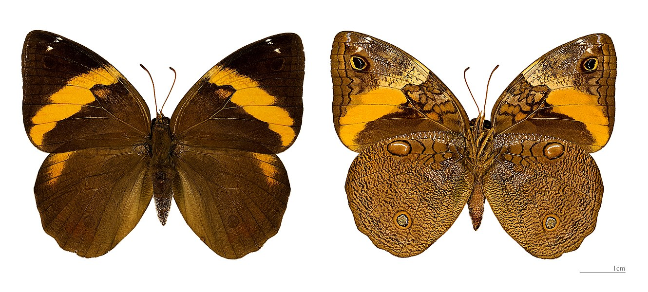 English:  Opsiphanes cassiae - Two views of same specimen