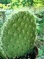 Opuntia sp 6314.jpg