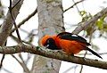 Orange-backed Troupial (Icterus croconotus) (29206642481).jpg