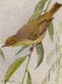 Orange-crowned Warbler NGM-v31-p308-B.jpg