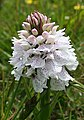 Orchid - geograph.org.uk - 476072.jpg