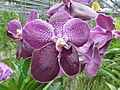Orchids in Thailand 2013 2756.jpg