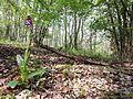 Orchis purpurea sl2.jpg