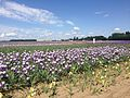Oregon iris field lec by andrew parodi.jpg