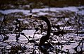 Oriental Darter (Anhinga melanogaster) with prey (35686606214).jpg