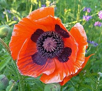 Papaver orientale - Image: Oriental poppy