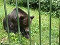 Orso bruno presso Parco Faunistico Spormaggiore 01.JPG