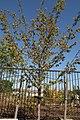Ostrya virginiana 12zz.jpg