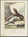 Otaria ursina - 1700-1880 - Print - Iconographia Zoologica - Special Collections University of Amsterdam - UBA01 IZ21100071.tif