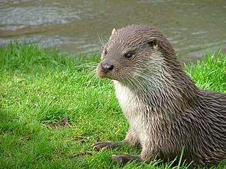 Near-threatened species - Image: Otter in Southwold