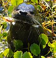 Otter with Fish at Lake Woodruff - Flickr - Andrea Westmoreland.jpg