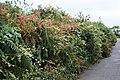 Overgrown Hedgebank - geograph.org.uk - 251207.jpg