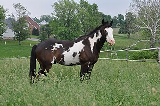 Pinto horse - Image: Overo paint horse by Bonnie Gruenberg
