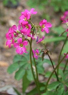 <i>Oxalis lasiandra</i> species of plant