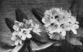 PSM V63 D252 Great laurel rhododendron maximum.png