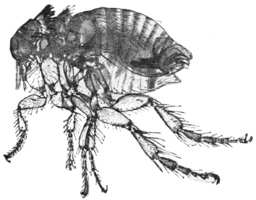 PSM V76 D219 Rabbit flea