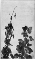 PSM V78 D480 Healthy and diseased twigs by pear blight.png
