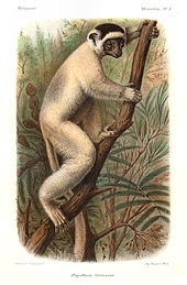 Drawing of a medium-sized lemur—a sifaka—with a dark crown clings vertically to a tree.