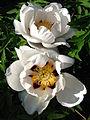 Paeonia suffruticosa cv. 15.JPG