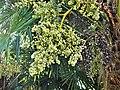 Palmier de Chine fruits Bergerac Mounet-Sully (2).jpg
