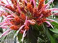 Panama Queen Bloom CloseUp.JPG