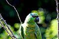 Papagaio da Várzea.jpg
