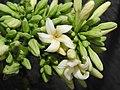 Papaya Carica papaya female Flowers by Dr. Raju Kasambe DSCN9640 (14).jpg
