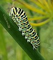Papilio machaon Ulia 03.jpg