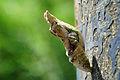 Papilio memnon heronus Pupa 20140706.jpg