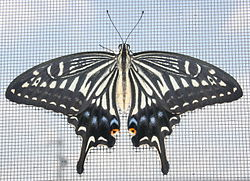 Papilio xuthus front view 2011-07-16.jpg