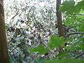 Pappelsamenflug im Dammwald bei 76467 Bietigheim.JPG