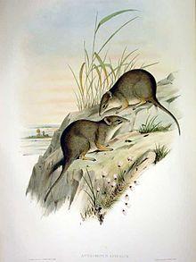 Parantechinus apicalis - Gould.jpg