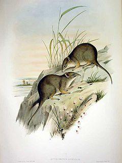 Dibbler Species of marsupial
