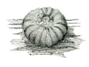 Kerriidae - rosette lac scale (Paratachardina decorella)