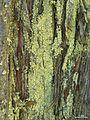 Parmeliopsis ambigua - Flickr - pellaea.jpg