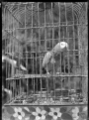 Parrot in a cage ATLIB 286761.png
