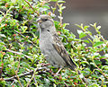 Passer domesticus House Sparrow 05.JPG