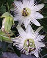 Passiflora caerulea Constance Elliot (2).jpg