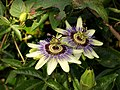 Passion flowers, rear of Briwere Road - geograph.org.uk - 1018562.jpg
